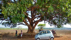 A big mango tree in Divar Island