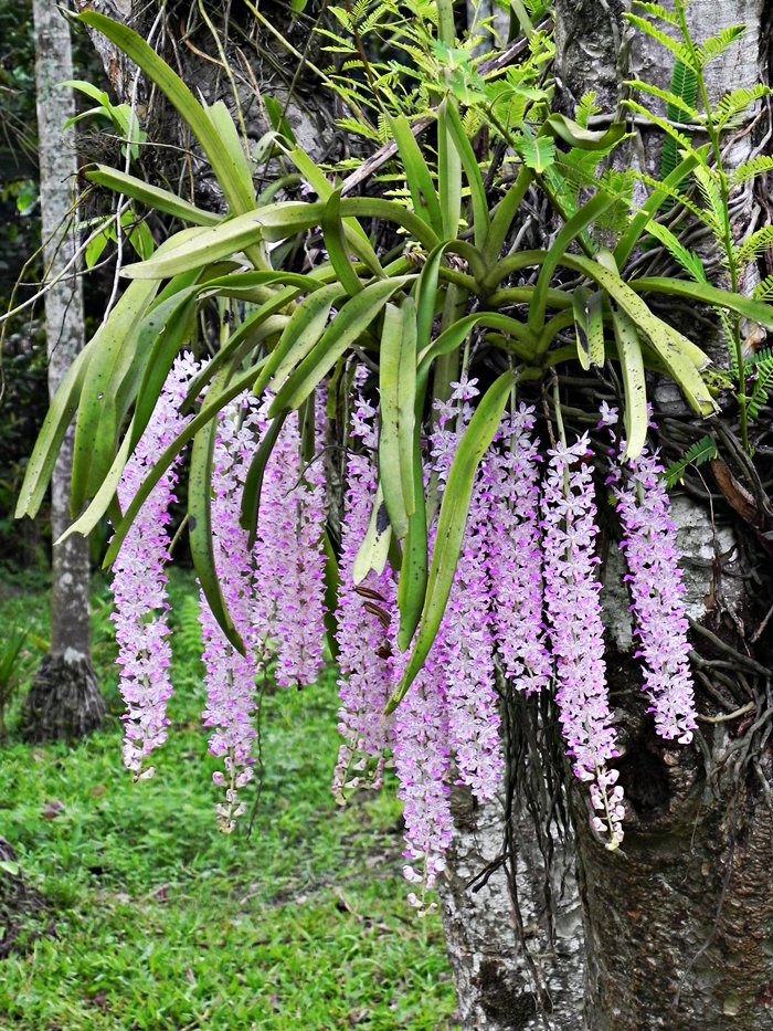 Kopou Phool is the Foxtail Orchid