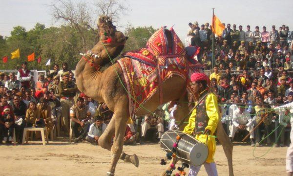 Camel at Pushkar Mela