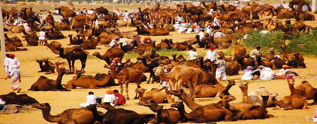 The livestock at the Pushkar Fair