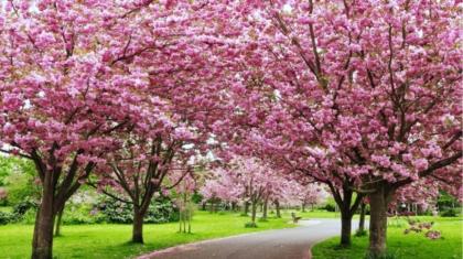 Cherry Blossom Festival in Shillong, Bananivista