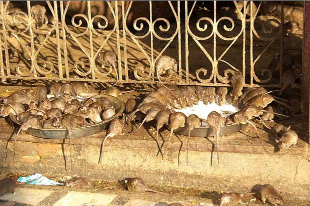 Holy rats running in Deshnok mandir